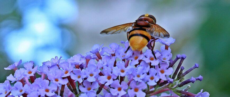 Un jarabe de miel muestra su efectividad para eliminar a las avispas velutinas
