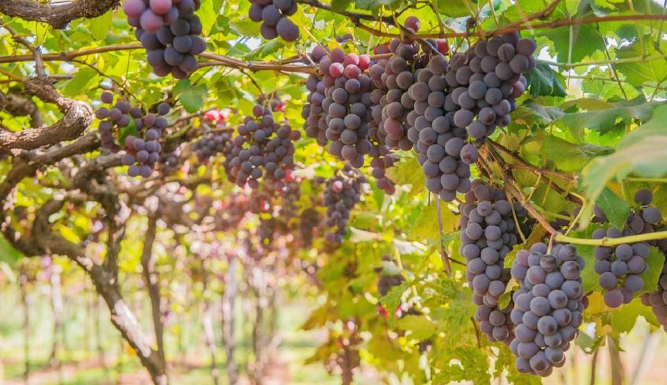 Conflicto por el cultivo de la uva del cava