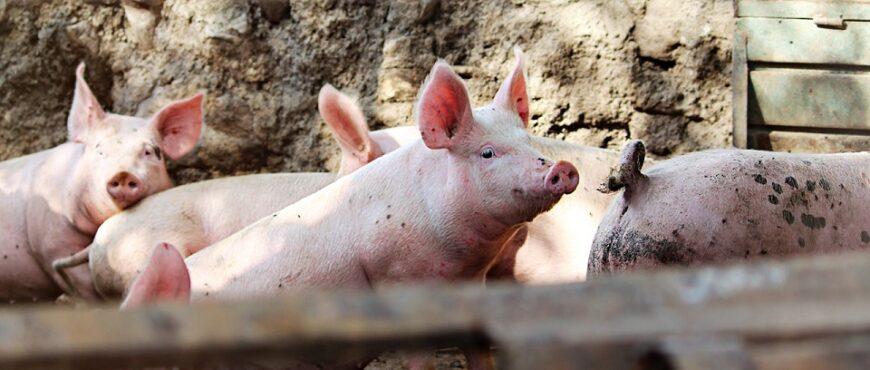 Control tratamientos ganado porcino