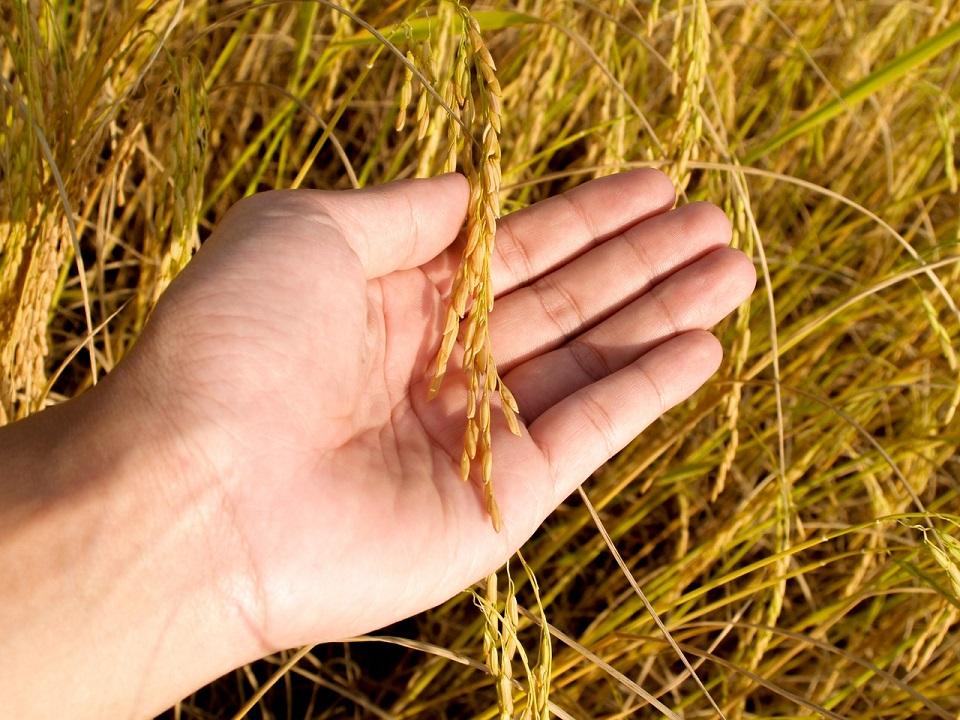 Buscan elevar la producción de arroz en España