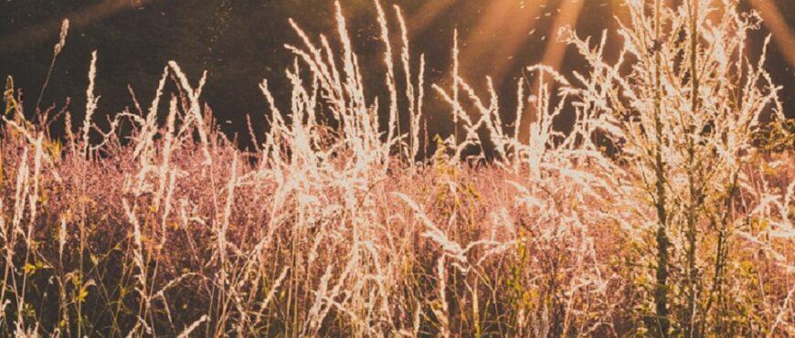 Cultivos de arroz bomba se ven amenazados por hongos