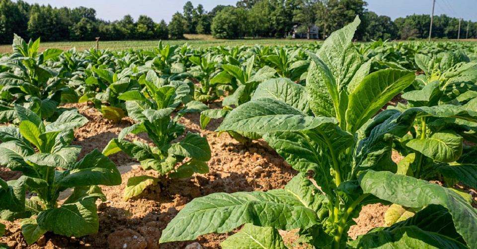 Cultivos ecologicos para Europa