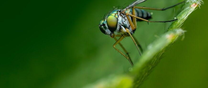 Intensifican las acciones contra la mosca del olivo
