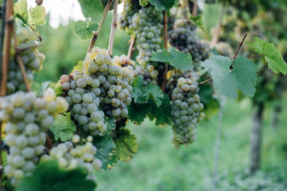 Agricultores temen por los resultados de la vendimia y los precios de la uva
