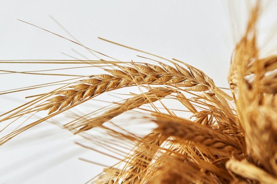 El hallazgo del genoma del trigo