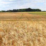 Disminuyen cultivos de cereales